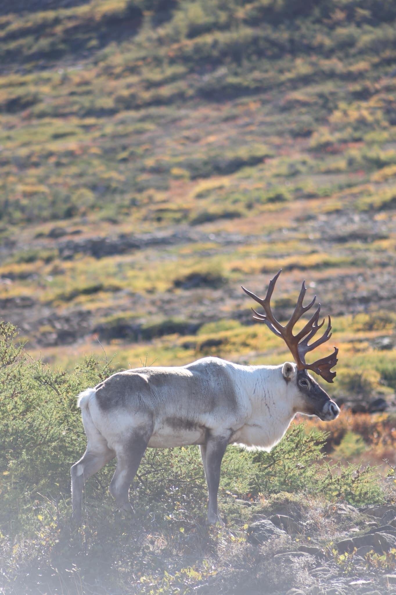 Caribou in Gros Morne National Park